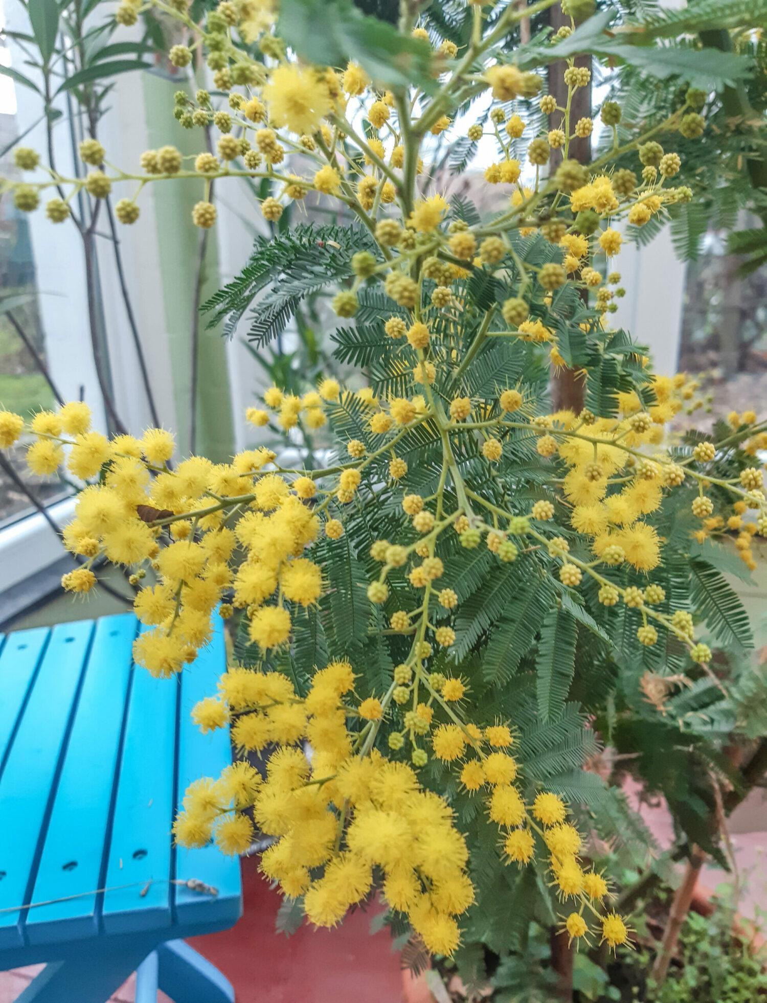 Die Mimose aus Frankreich fühlt sich wohl in Deutschland.Foto: Katharina Kehmer