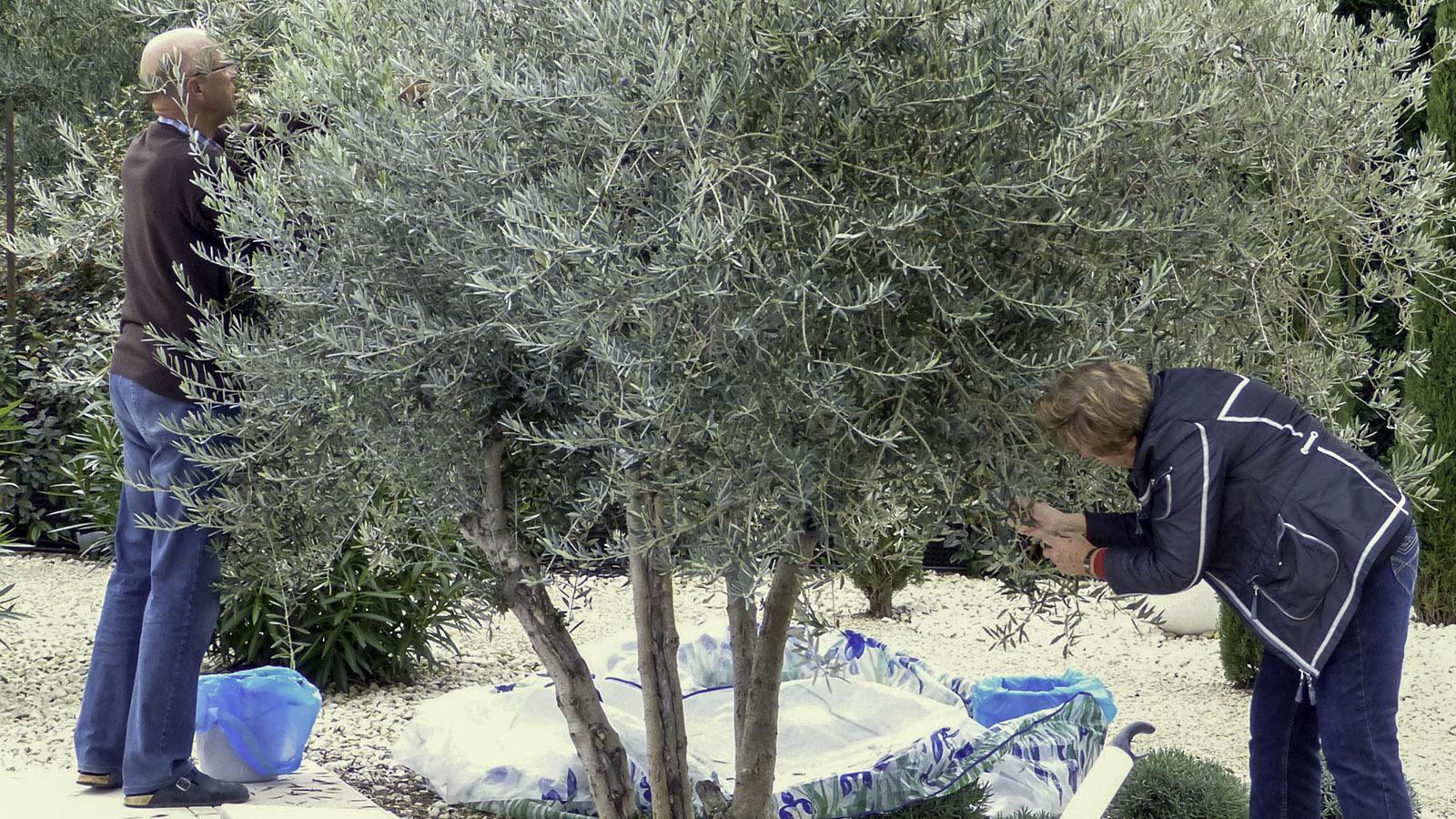 Olivenernte in unserem Garten. Foto: Karl-Heinz Stabel