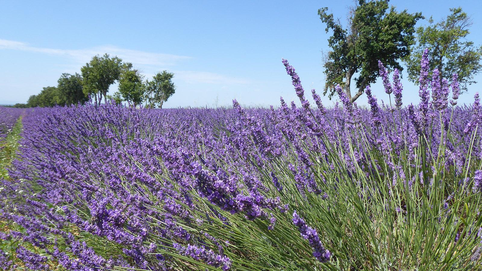 Die Lavendelblüte 2020. Foto: Susanne Knechtges
