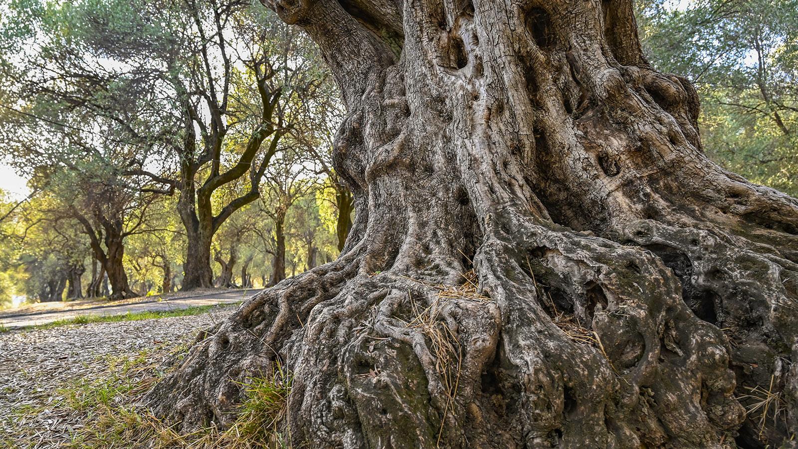 540 uralte Olivenbäume wachsen mitten in der Stadt - und machen den Parc du Pian zu einer ganz besonderen grünen Oase. Foto: Hilke Maunder