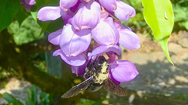 Biene am Blauregen. Foto: Ute Neufeldt-Nehe