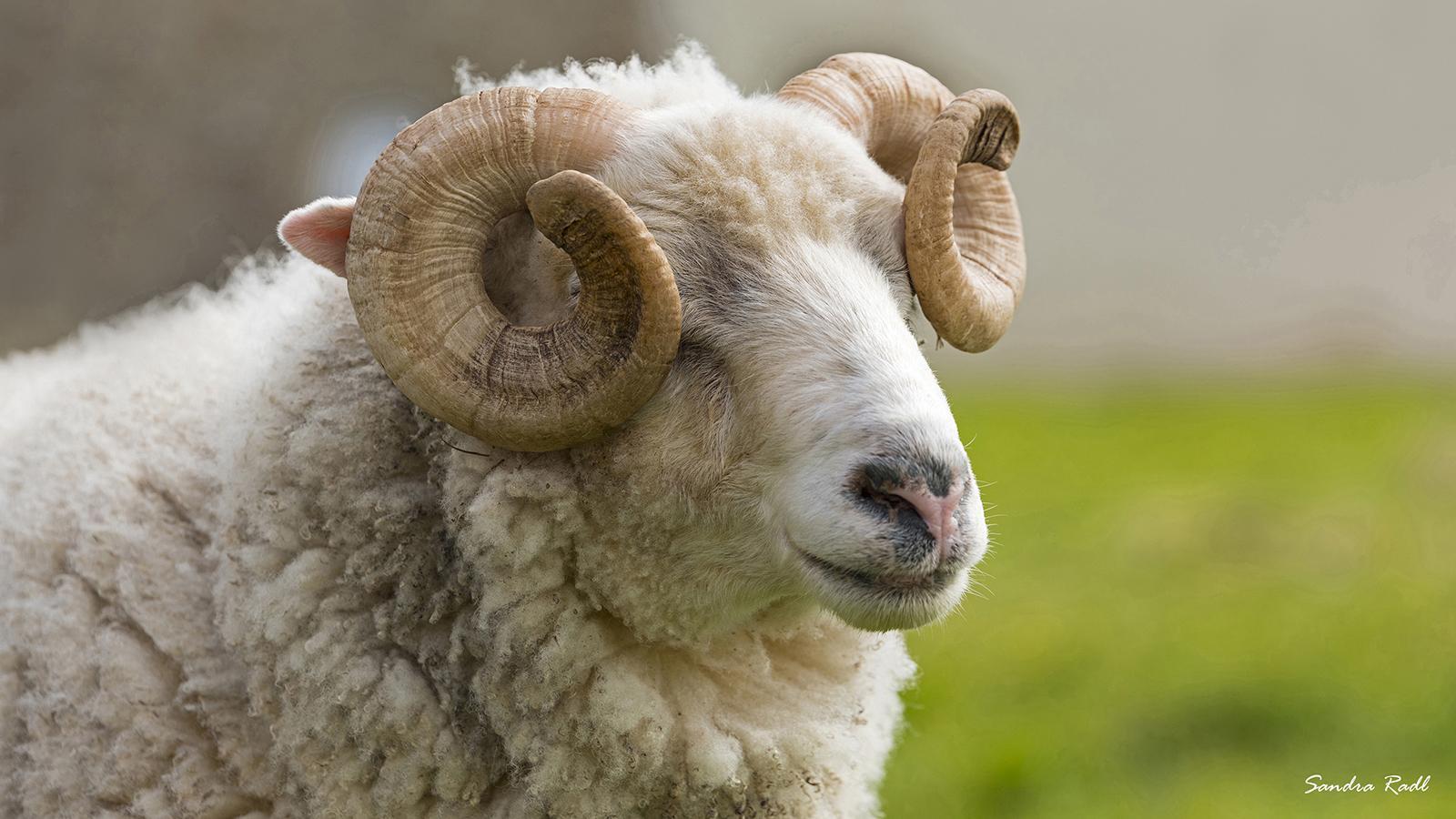 Wenn man vor lauter Hörnern die Insel nicht mehr sieht: Schaf auf Ouessant. Foto: Sandra Radl