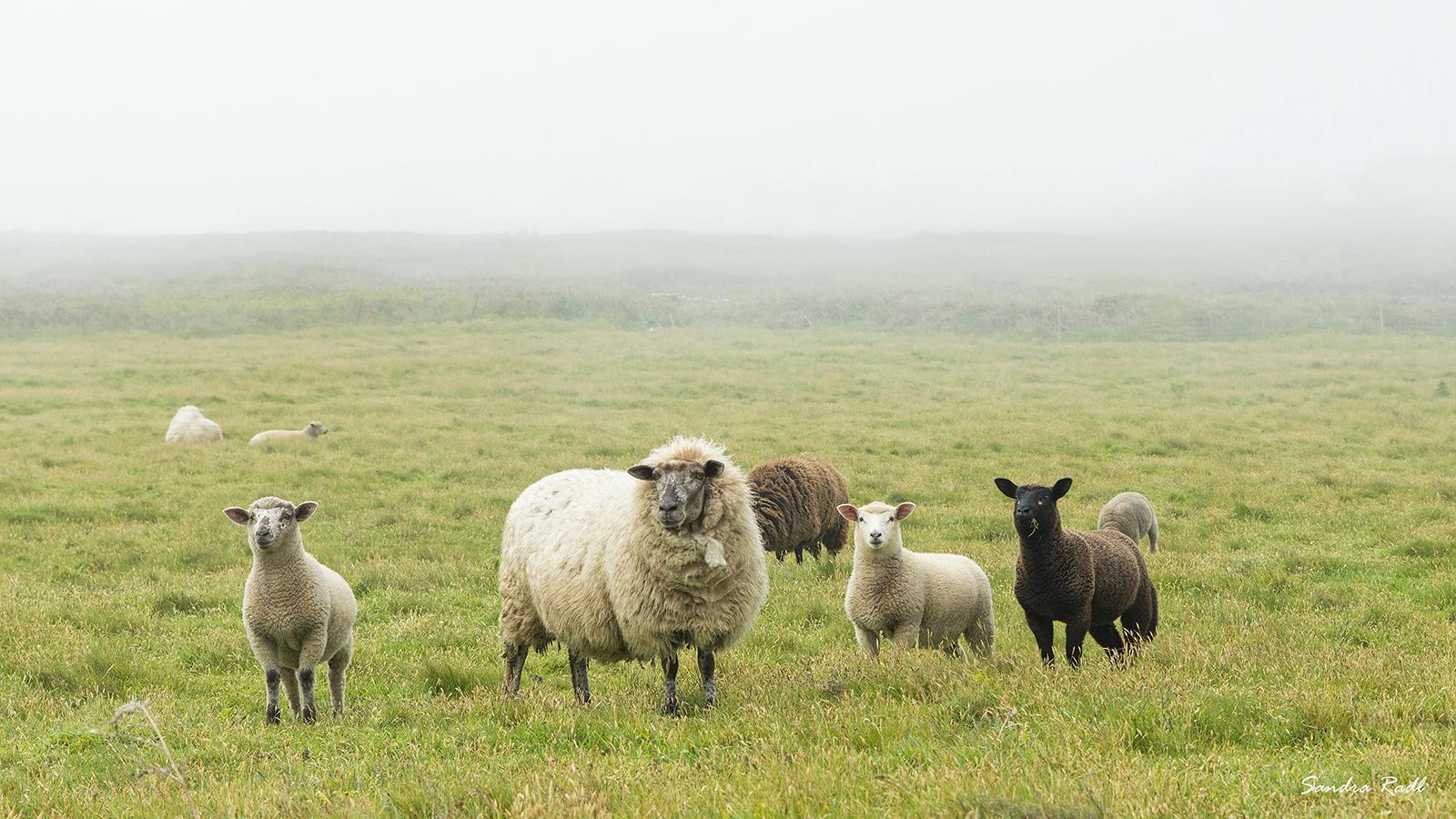Schafe im Nebel. Foto: Sandra Radl