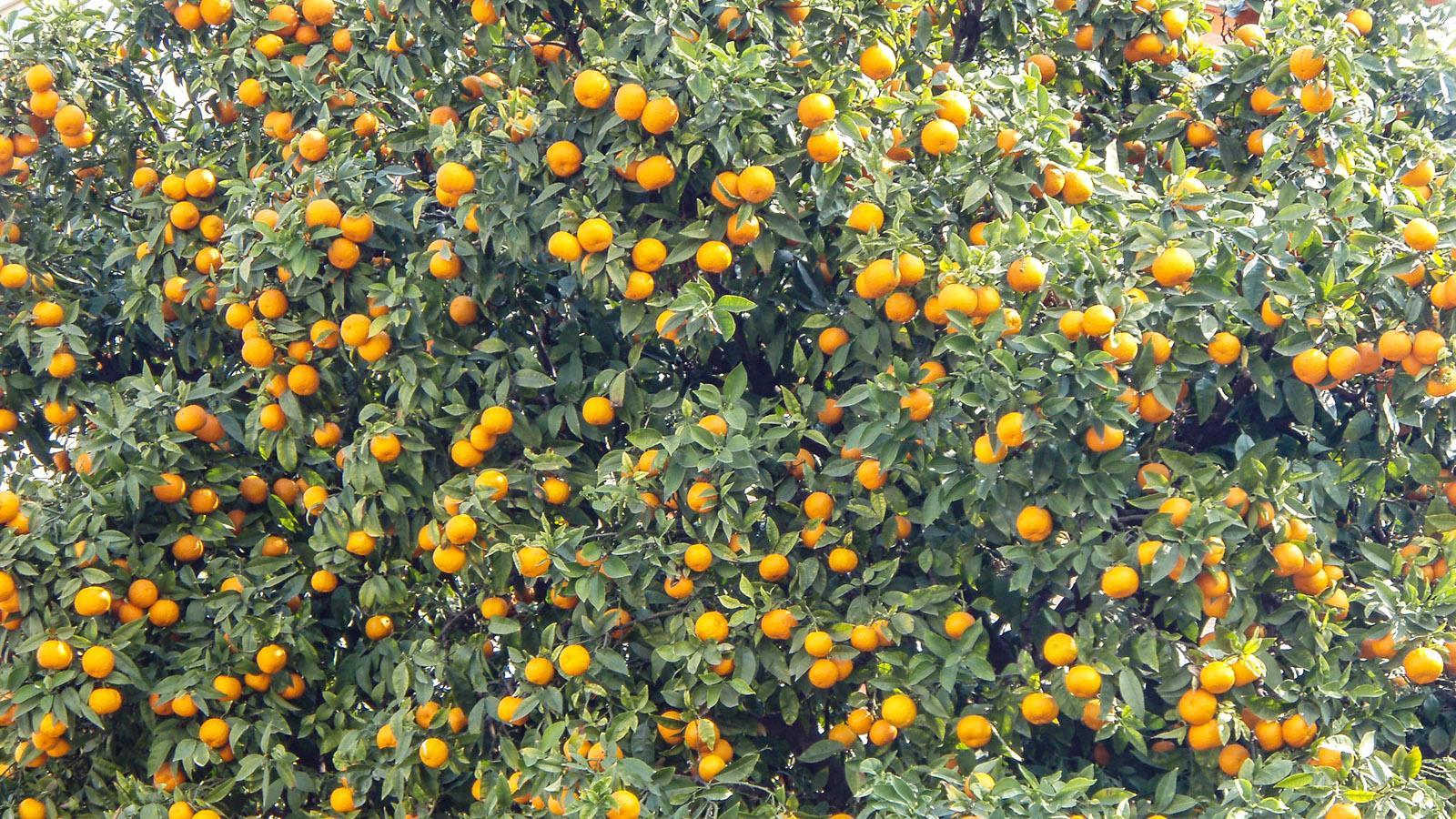Winter an der Côte d'Azur: Die Orangenbäume sind voller Früchte. Foto: Kerstin Gorges