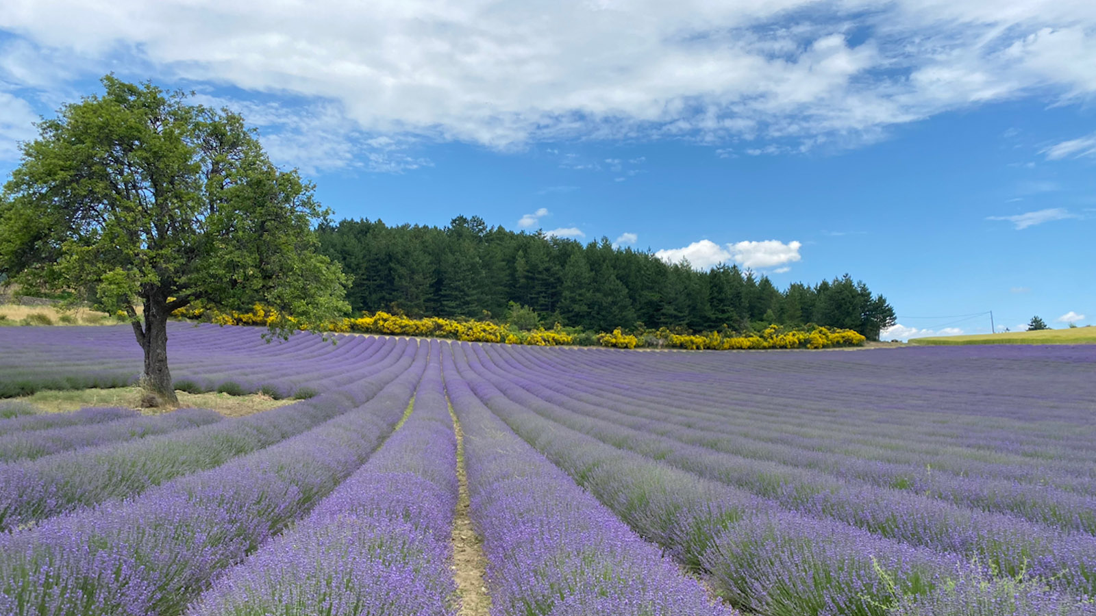 Lavendelfelder in der Drôme. Foto: ?