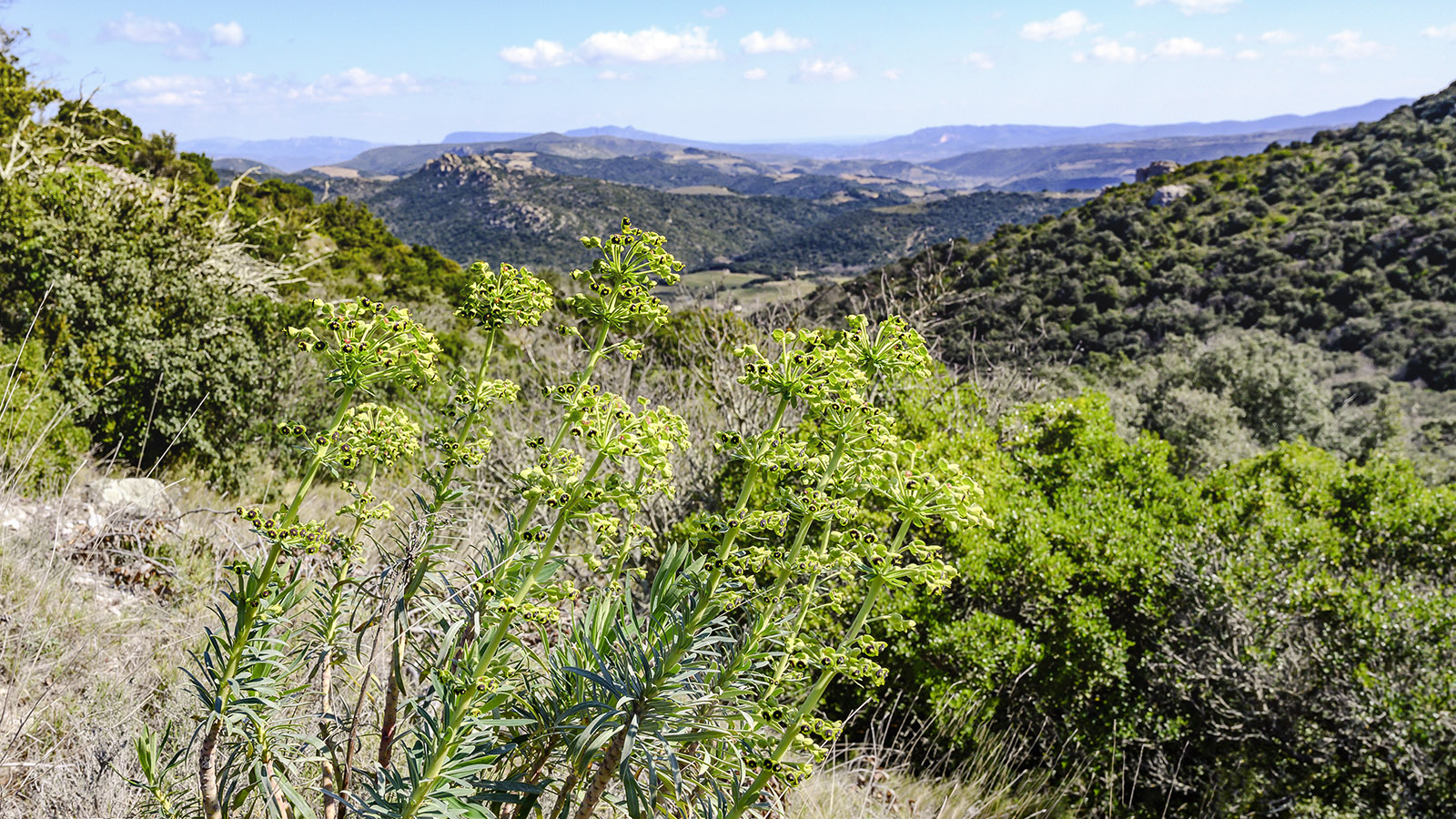 Euphorbien blühen allerorten in der Garrigue derTour de Lansac. Foto: Hilke Maunder