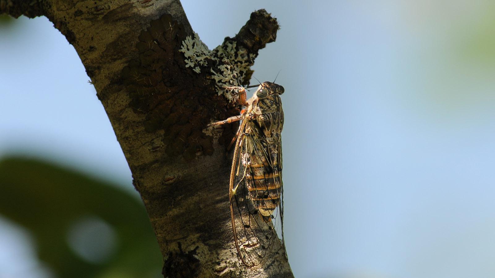 Eine Zikade hockt hier auf dem Baumstamm. Foto: Anke Feja