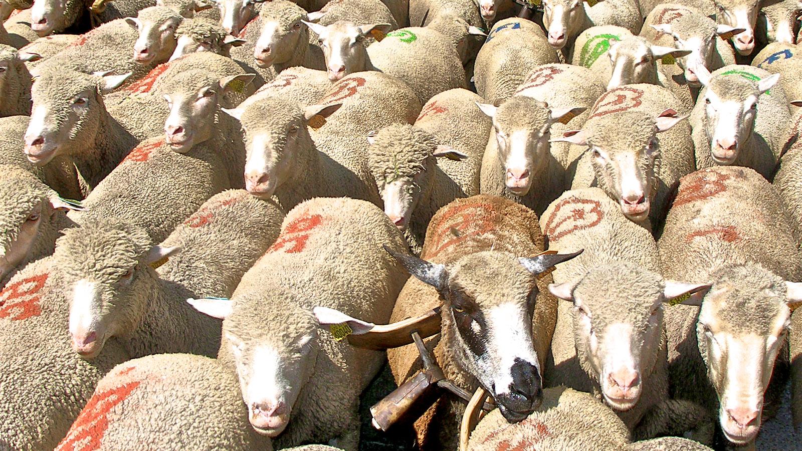 Schafe. Foto: Uli Luipold