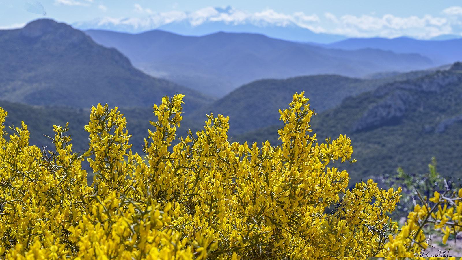 Im April blüht der Ginster vor der fernen Spitze des Canigou. Foto: Hilke Maunder