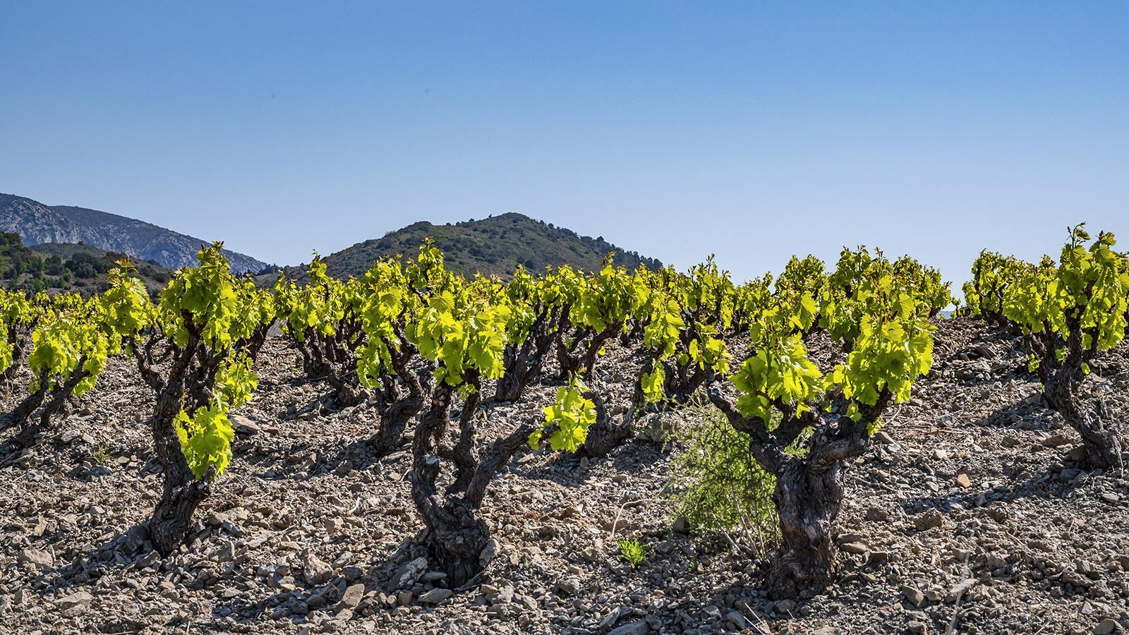 Alte Grenache-Stöcke ( vieilles vignes ), geschnitten als gobelet. Foto: Hilke Maunder