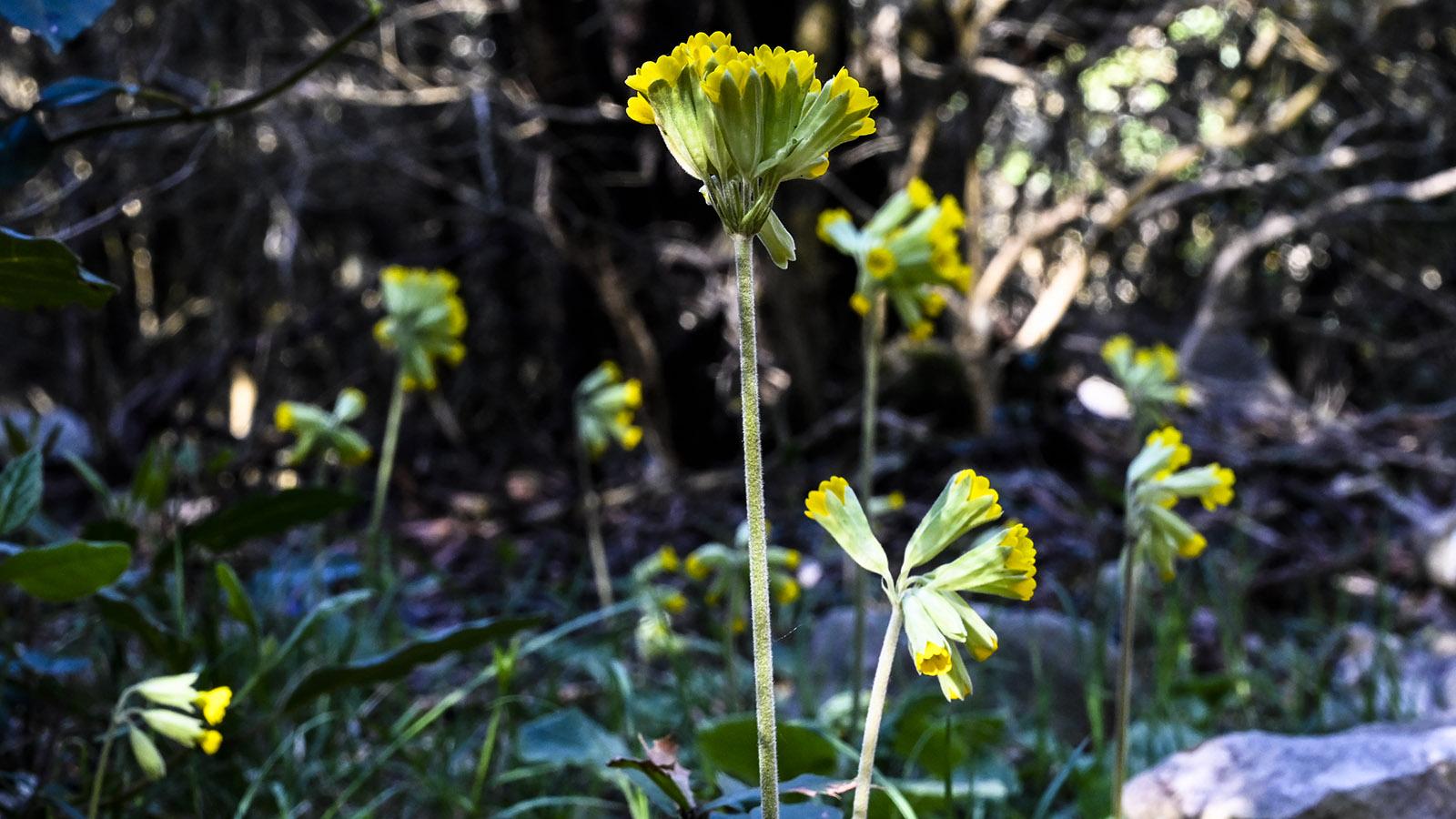 Im April blühen Schlüsselblumen im Unterholz. Foto: Hilke Maunder