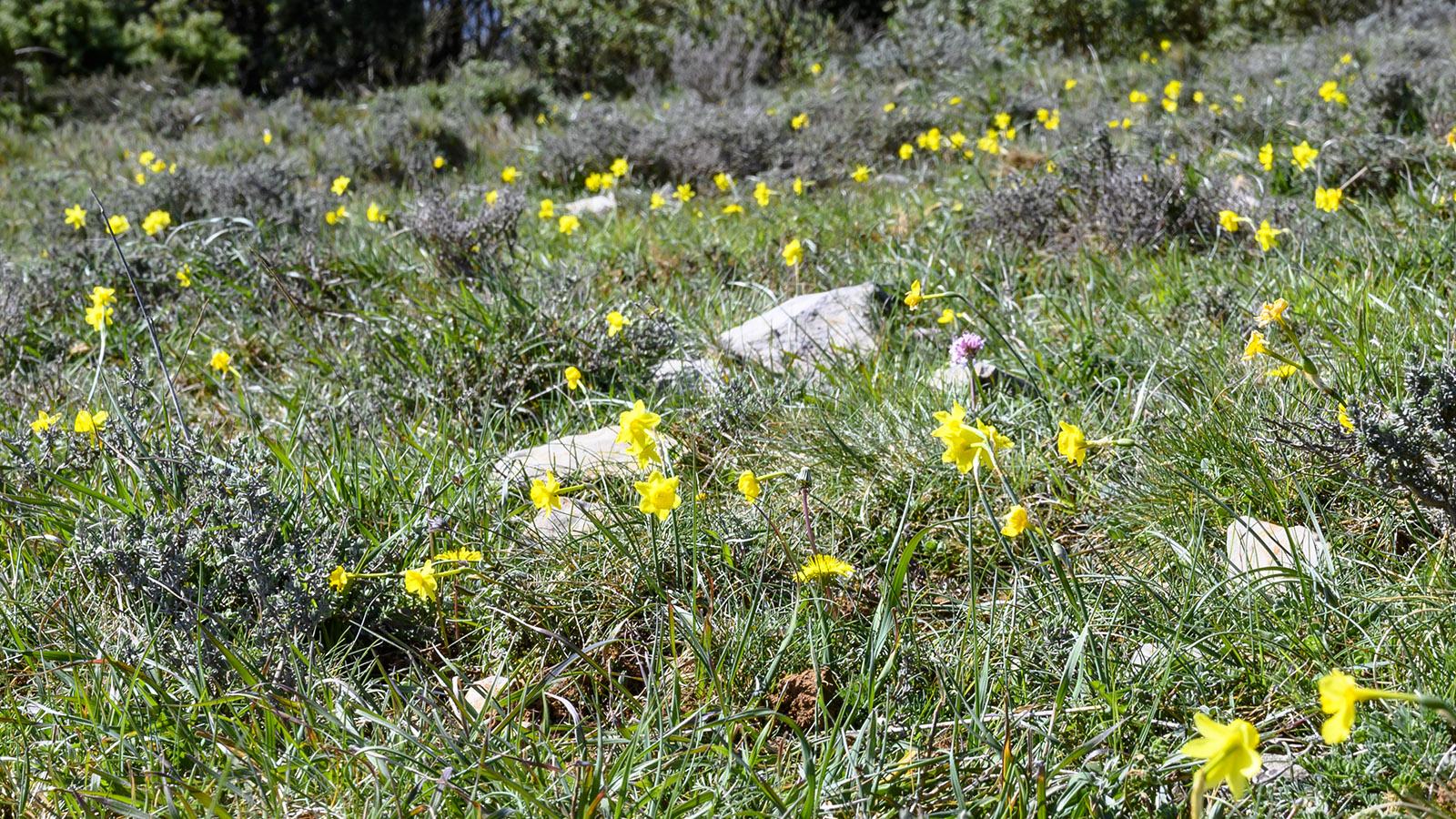 Zu Ostern blühen wilde Narzissen auf dem Pla de Moulis. Foto: Hilke Maunder