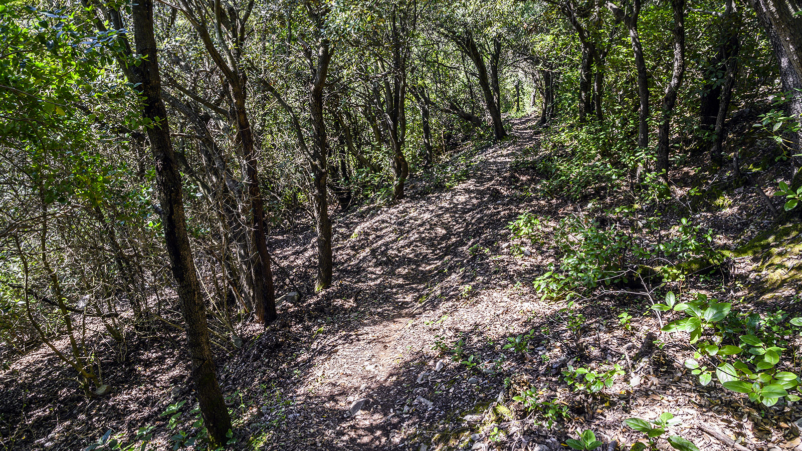 Durch schattigen mediterranen Bergwald geht es weiter bergab. Foto: Hilke Maunder