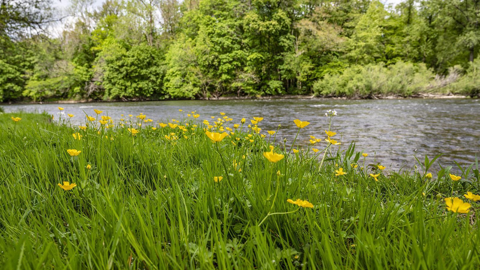 Butterblumen blühem am Ufer der Dordogne. Foto: Hilke Maunder