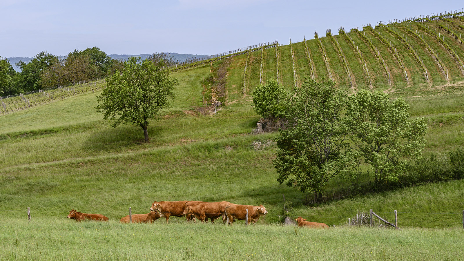 Neben dem Weinberg von Queyssac grasen Limousin-Rinder. Foto: Hilke Maunder
