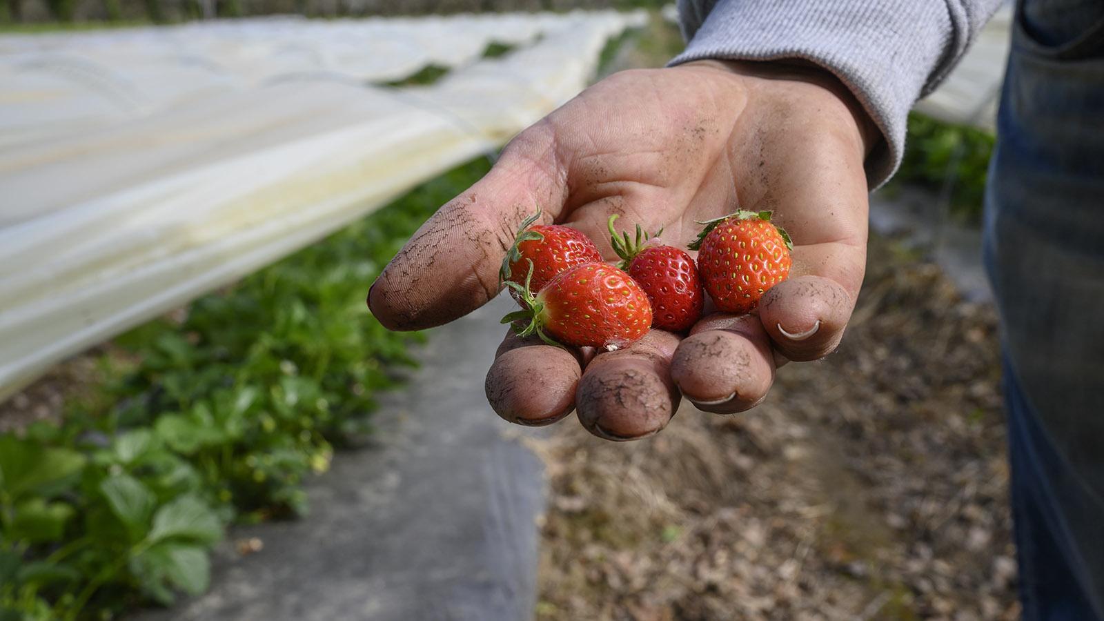 Erdbeerbauer Ludovic Pagès aus Beaulieu. Foto: Hilke Maunder