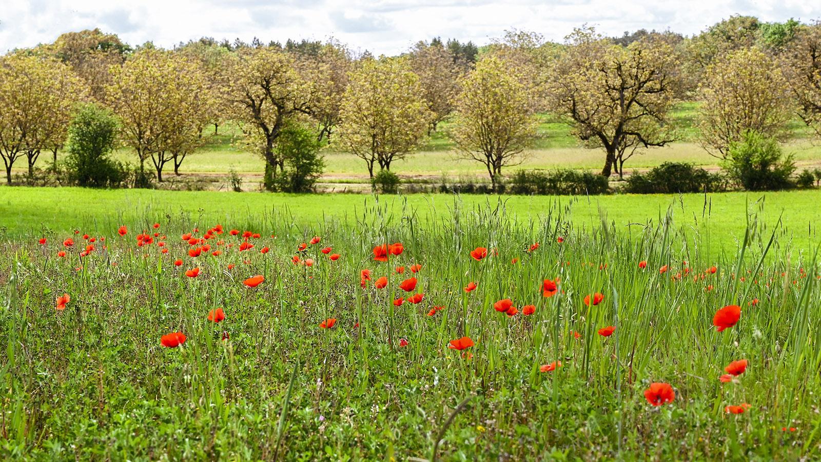 Walnusshaine an der Route de la Noix im Mai. Foto: Hilke Maunder
