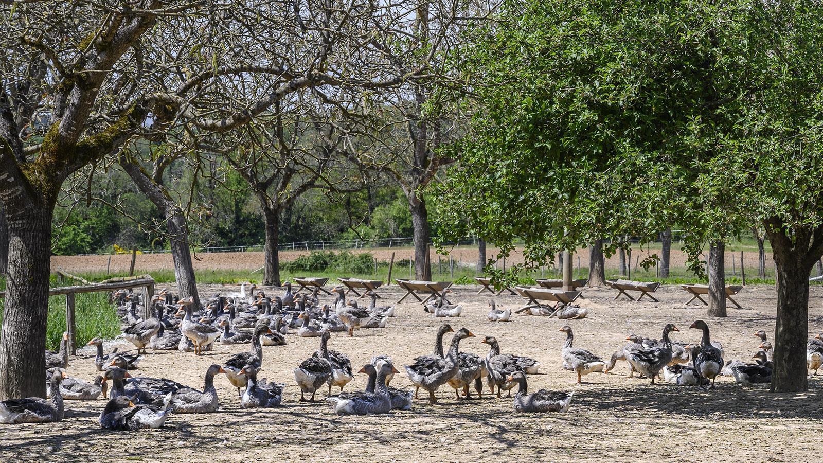 Überall im Périgord werden Gänse und Enten in weiten Freilaufgehegen gezüchtet für die Spezialitäten der Region – confit, magret und foie gras. Foto: Hilke Maunder