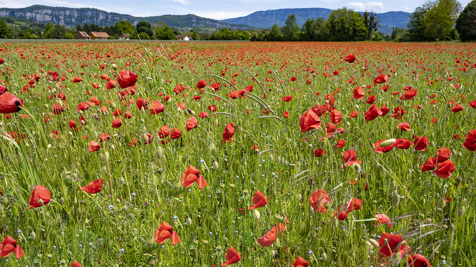 Im Mai blüht der rote Mohn rings um Saint-Genix. Foto: Hilke Maunder