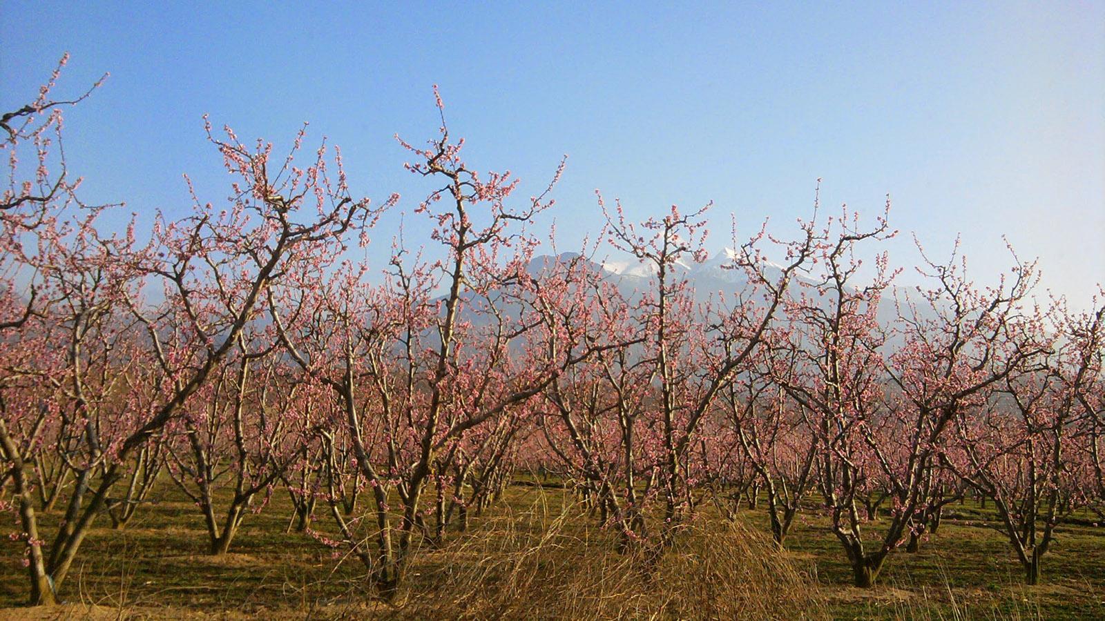 Aprikosenblüte bei Rivesaltes. Foto: Joseph Raynal