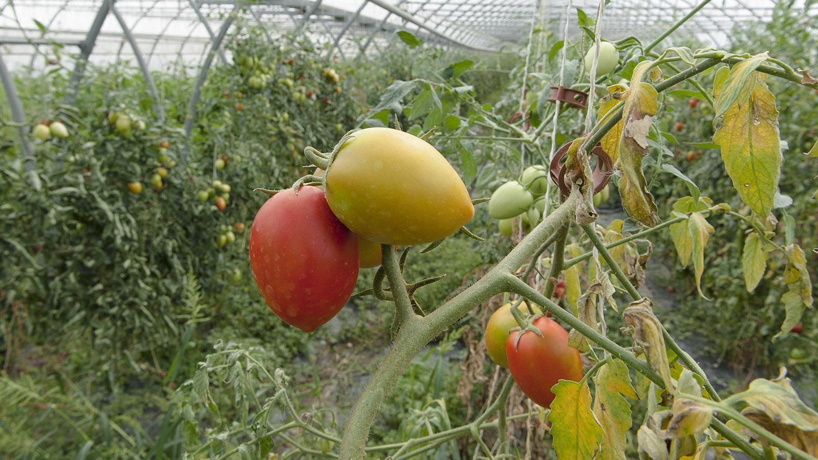 Zwischen Vienne und Condrieu werden Tomaten gezüchtet. Foto: Hilke Maunder