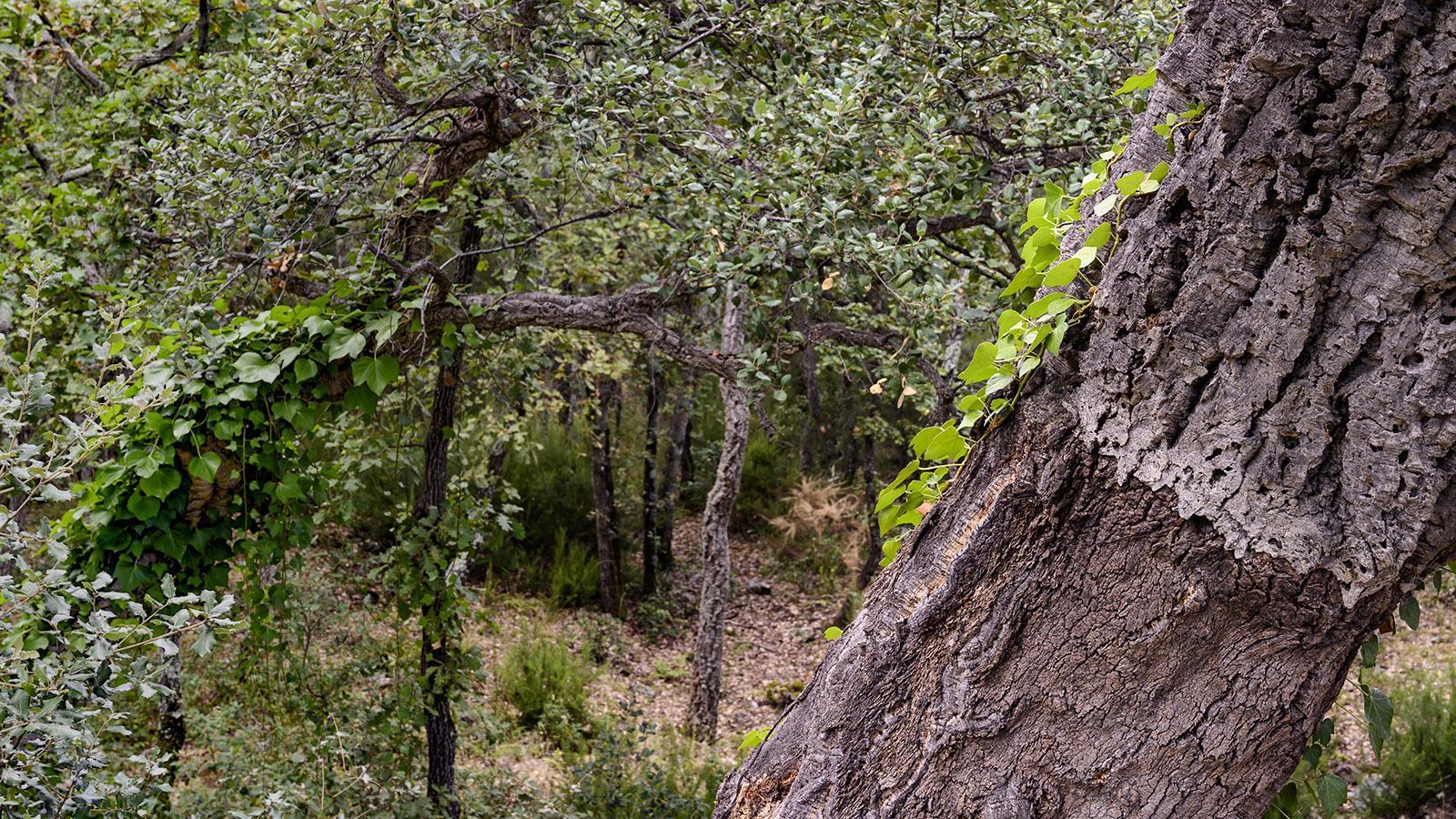 Vorsichtig wird der Kork vom Stamm geschält, ohne den Baum zu beschädigen. Foto: Hilke Maunder