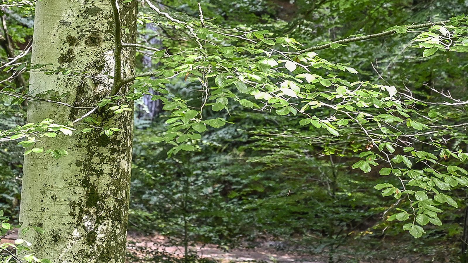 In der <em>Forêt de Massane</em>. Foto: Hilke Maunder