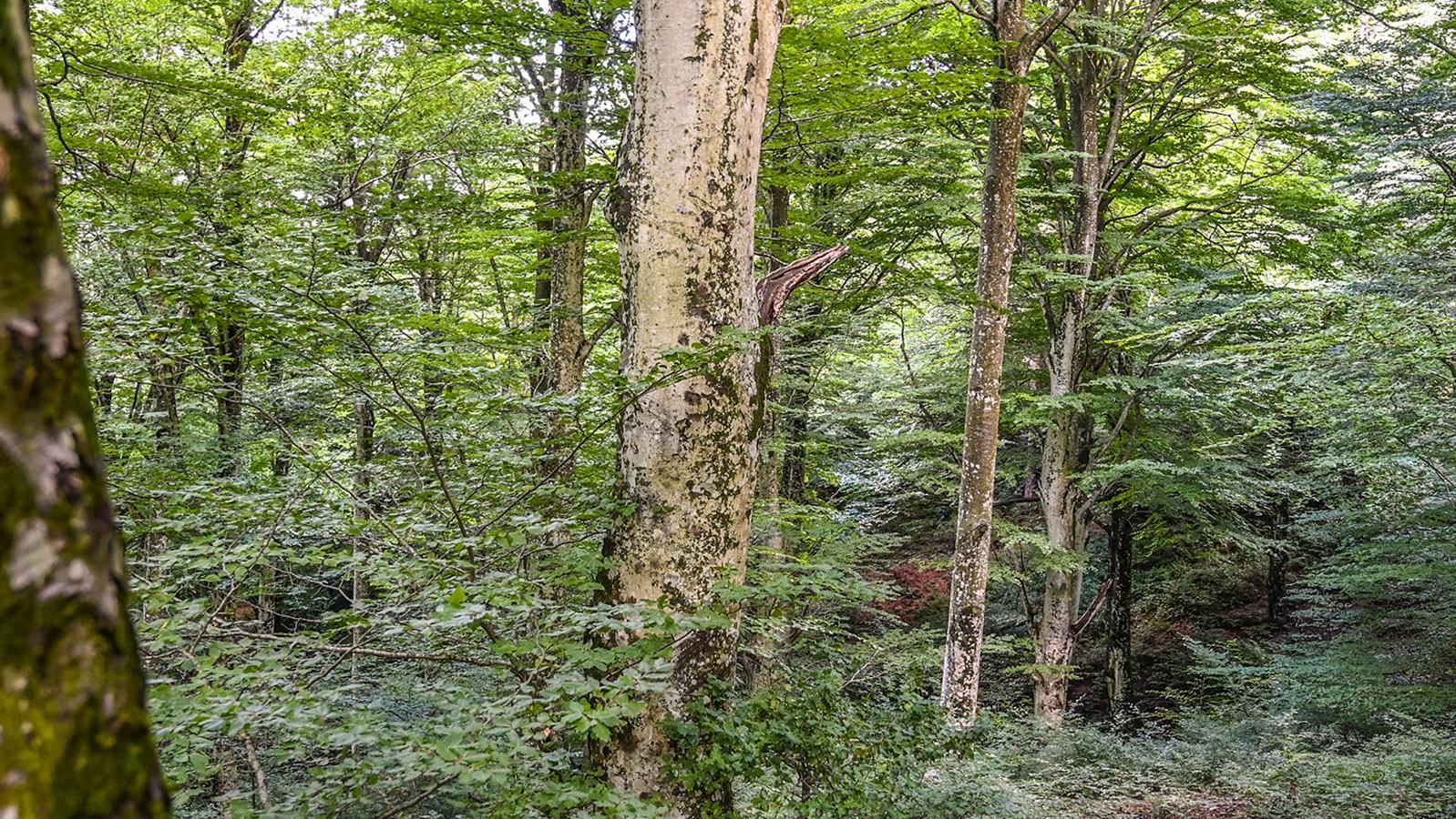 Buchen, wohin man schaut: die <em>Forêt de Massane</em>. Foto: Hilke Maunder