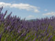 Haute-Provence_ Lavendelfeld in Blüte auf dem Plateau von Valensole. Foto: Hilke Maunder