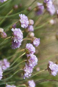 Blumenwiese am GR 34 in der Bretagne