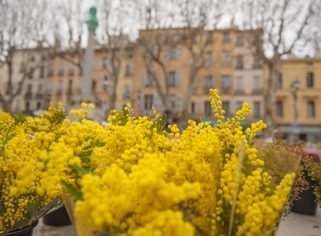 F_Aix-en-P._Mimosen©Hilke Maunder