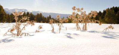 F_Bolquere_Les Airelles_Disteln im Schnee_2_credits_Hilke Maunder