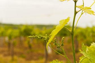F_Bourg-Charente_Wein_UgniBlanc_1_credits_Hilke Maunder