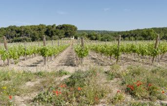 F_Gruissan_Château Le Bouïs Weingärten_©Hilke Maunder