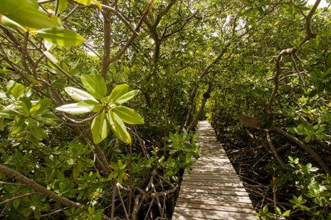 F_Martinique_Baie de Robert_Mangroven_Weg_credit_Hilke Maunder