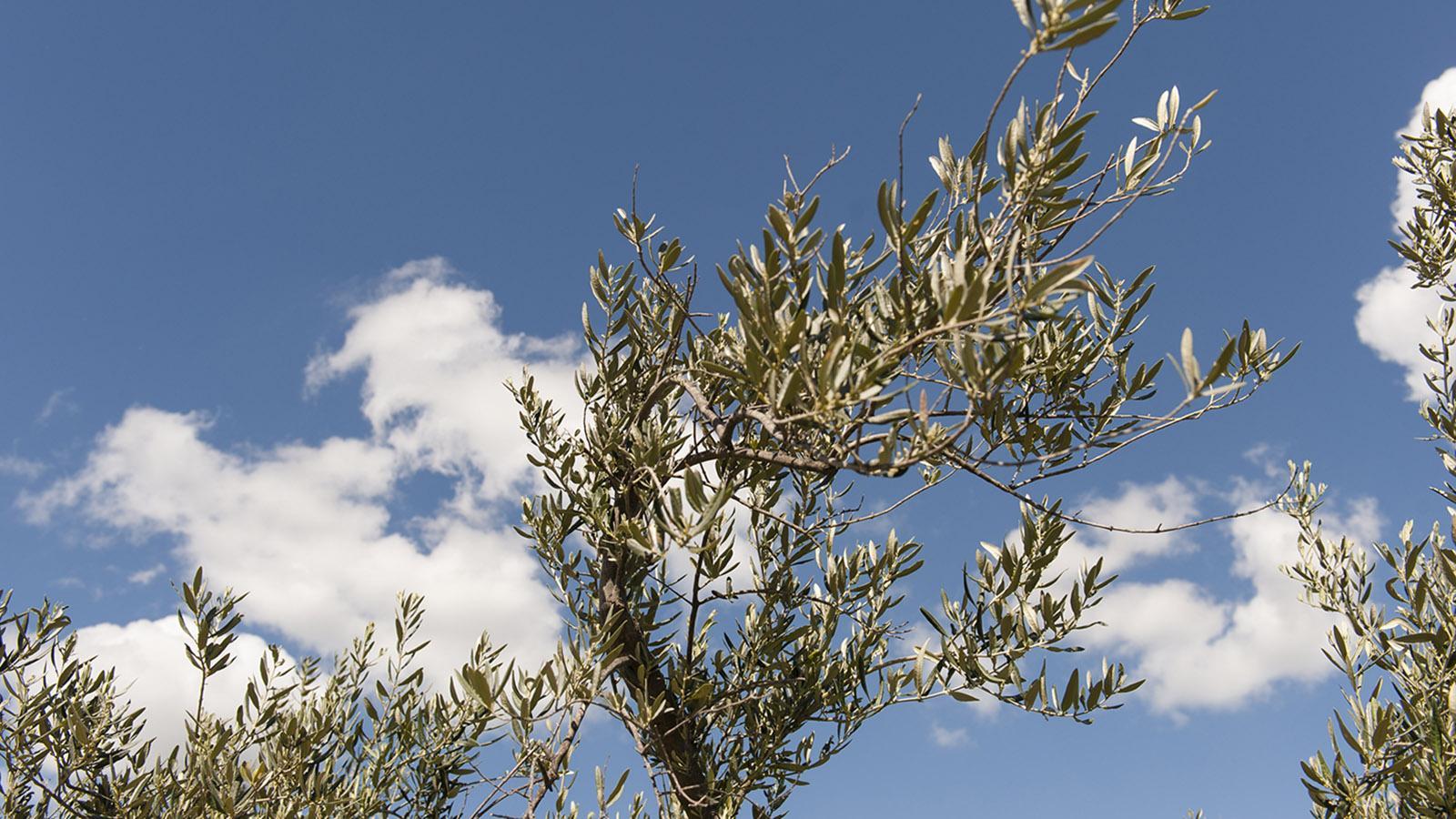 Olivenbaum. Foto: Hilke Maunder