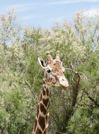 F_Sigean_Safaripark_Giraffe_2©Hilke Maunder.