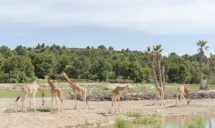 F_Sigean_Safaripark_Giraffen©Hilke Maunder.