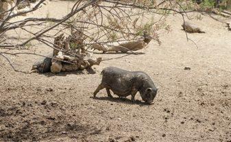F_Sigean_Safaripark_Hängebauchschwein©Hilke Maunder.