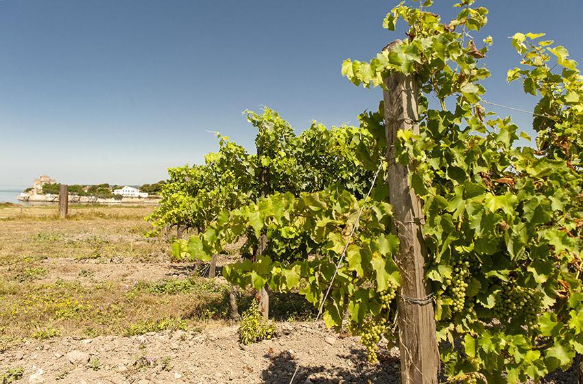 Die Trauben von Les Hauts de Talmont wachsen auf Muschelkalk hoch über der Gironde. Foto: Hilke Maunder
