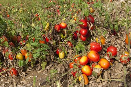 F__tomaten_credits_hilke-maunder